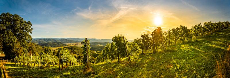 Autumn panorama of Grape rows on vineyard in Austrian town Kitzeck im Sausal Leibnitz
