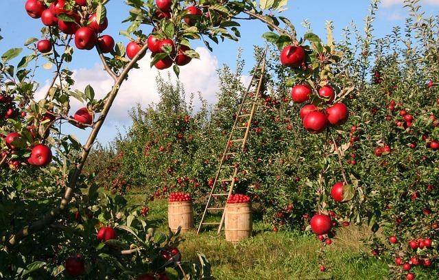 verger de pommes